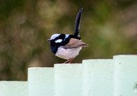 Male suberb fairy wren