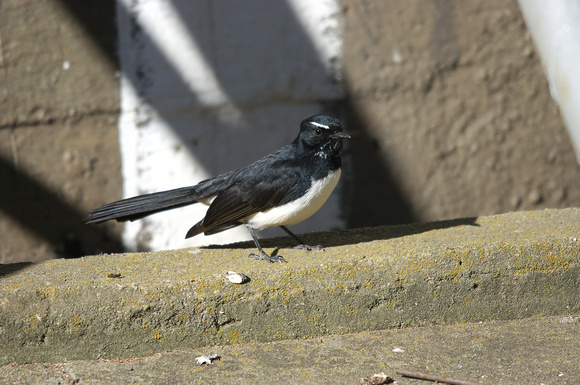 willy wagtail 2